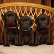 Three cute labrador puppies on the chair — Stock Photo #8688979