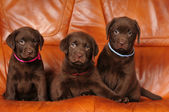Three cute brown puppies — Stock Photo