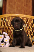 Cute puppy sits on the chair — Stock Photo