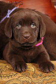 Cute brown puppy portrait — Stock Photo
