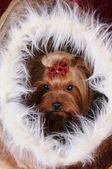 Yorkshire terrier in una casa di pelliccia — Foto Stock