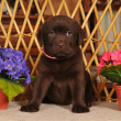 Labrador puppy on the chair — Stock Photo