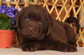 Roztomilý labrador štěně ležící portrét — Stock fotografie