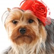 Funny portrait of yorkshire terrier — Stock Photo