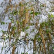 Stock Photo: Silver Birch Leaves