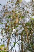 листья березы — Стоковое фото