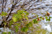 The maple dismisses leaves 2 — Stock Photo