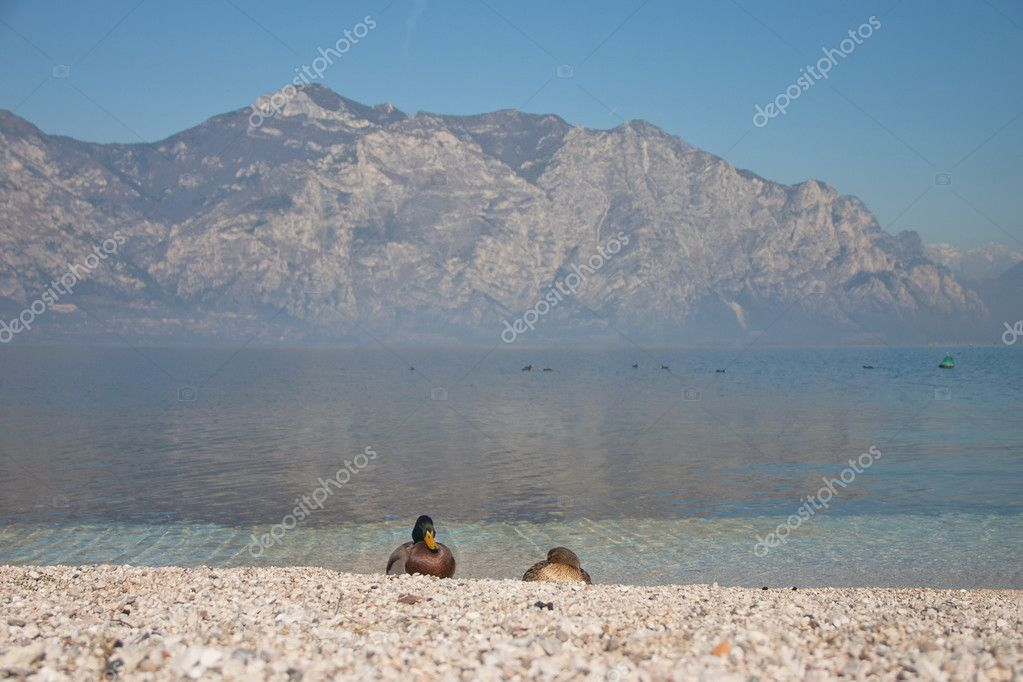 Pair of ducks on lake Garda, Italy — Stock Photo #9661959