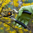 Stock Photo: Pruning shrubs