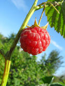 Raspberry against blue sky background — Stock Photo