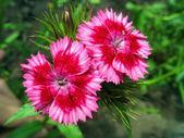 Pink sweet william — Stock Photo