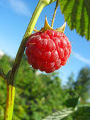 Raspberry against blue sky background — Stock Photo