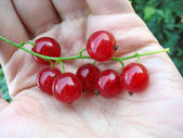 Close up of red currant twig on a palm. — Stock Photo