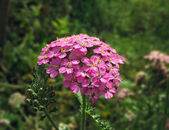 Close up of pink yarrow flower — Stock Photo