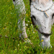 A white horse feeding outdoors — Foto Stock