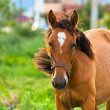 Closeup photo of a young horse against green background — Stock Photo