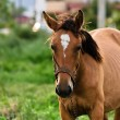 Stock Photo: Closeup photo of a young horse against green background