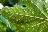 Green leaf closeup with veins — Foto Stock
