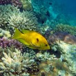 Yellow slingjaw wrasse (female) — Stock Photo