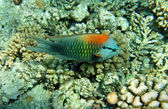 Multicolor slingjaw wrasse (male) — Stock Photo
