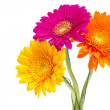 Gerber Daisy isolated on white background — Stock Photo #10298766