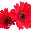 Gerber Daisy isolated on white background — Stock Photo