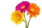 Gerber daisy izolovaných na bílém pozadí — Stock fotografie