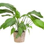 Spathiphyllum floribundum (Peace Lily) isolated on white — Stock Photo #10502566
