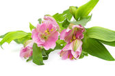 The branch of freesia with flowers, buds — Stock Photo