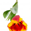 Beautiful tulips on white background — Stockfoto