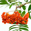 Rowan berries and leaves on white background — Stock Photo