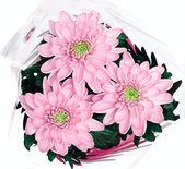 Mazzo di crisantemi rosa su sfondo bianco — Foto Stock