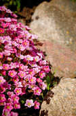 Flowers and rocks — Stock Photo