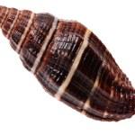 Brown seashell — Stock Photo #9267295