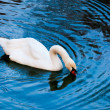 Beautiful white swan — Stock Photo