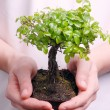 Royalty-Free Stock Photo: Hands holding a Bonsai tree