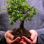 Hands holding a Bonsai tree — Stock Photo