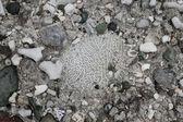 Brain Coral — Stock Photo