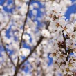 Stock Photo: Almond tree flower