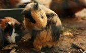 Funny guinea pig — Stock Photo