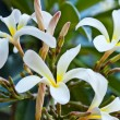 Plumeria flower - Stock Photo