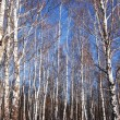 White birches and clear blue winter sky - Stock Photo