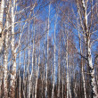 White birches and clear blue winter sky — Stock Photo