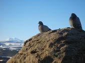Holubice na kámen a zasněžené horské zázemí — Stock fotografie