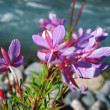 Stock Photo: Pink flowers and river landscape. Caucasus summer