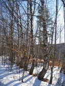 Vita björkar i rad och morgonen vintern trä — Stockfoto