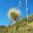 Meadow plant on the caucasus summer field — Stock Photo
