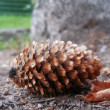 Stock Photo: Fir cone and fallen leaf laying on ground