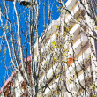 Stock Photo: Young green spring leafs on trees in city