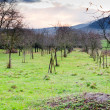 Apple orchard in Alsace at evening — Stock Photo